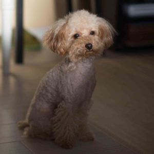 Toy Poodle The Toy Poodle Was Developed In England In The 18th