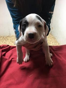 Litter Of 8 American Bulldog Puppies For Sale In Olympia Wa Adn