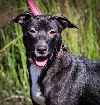 Houston Tx Labrador Retriever Meet Freyja A Dog For Adoption