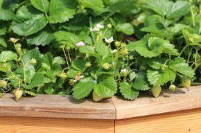 Erdbeeren Im Hochbeet Pflanzen So Funktioniert S Erdbeeren Go39s Hochbeet Pflanze E Strawberry Ideen In 2020 Hochbeet Pflanzen Hochbeet Anpflanzen Hochbeet