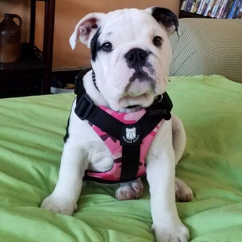 Cute Puppies, Cute Dogs, Dogs And Puppies, American Bulldog Puppies, Baby Animals Pictures, Cute Little Animals, Pink Camo, Funny Cute, Funny Dogs