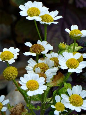 Beyond Zephyr The Difference Between Feverfew And Chamomile Flowers Feverfew Chamomile Flowers Flowers