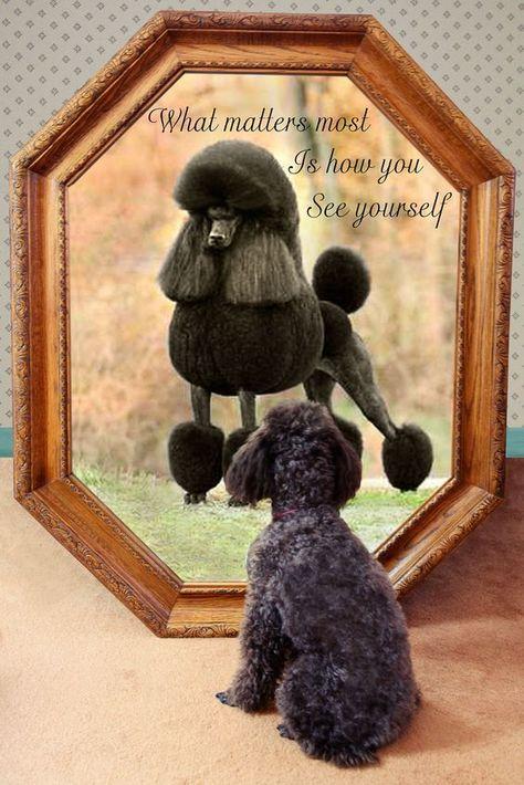 The Dream Of A Pet Poodle Poodle Dog Toy Poodle Poodle Puppy
