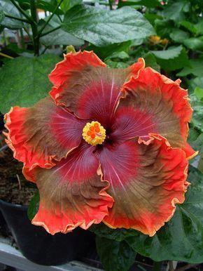 Hibiscus Flower Benefits In Tamil Hibiscus Hibiscus Plant Hibiscus Flowers Growing Hibiscus