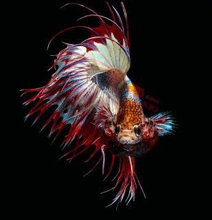 Wallpaper Ikan Cupang Ikan Cupang Ikan Warna