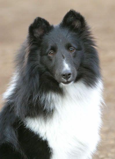Shetland Sheepdog Photo Sheepdog Image Shetland Sheepdog