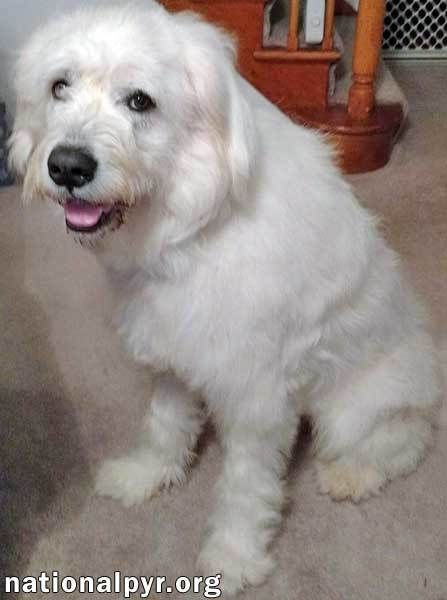 Adopt Frosty in CT - adopted on | ADOPTED | Great pyrenees