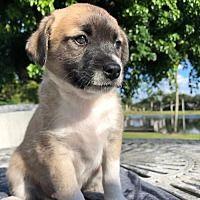 Weston Fl Dachshund Meet Cleo A Pet For Adoption 2020