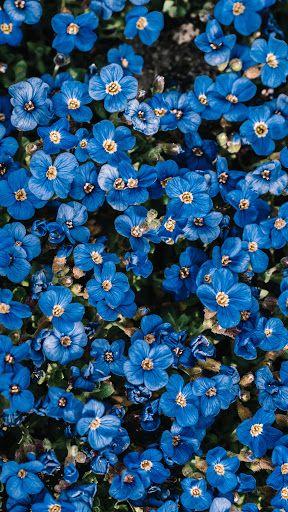 خلفية ورد أزرق جميل وهادئ Hd Blue Flower Wallpaper Blue Plants Flower Phone Wallpaper