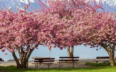 10 Recommended Trees For Small Urban Settings Flowering Cherry Tree Flowering Trees Kwanzan Cherry