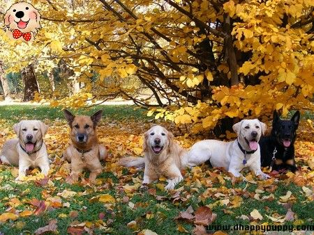 Labrador German Shepherd Golden Retriever Best Friends Dog Lovers Dog Breeds Smart Dogs Dogs Animals Dogs Puppies