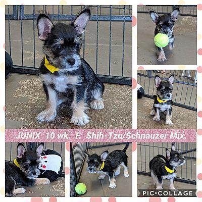 Mesa Az Shih Tzu Meet Junix A Pet For Adoption Pet Adoption