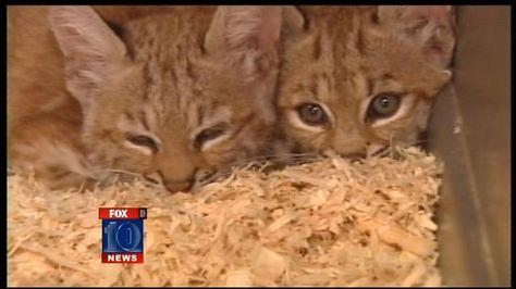 Scottsdale Homeowners Discover Baby Bobcats In Yard Fox 10 News Phoenix Az Ksaz Tv Baby Bobcat Cat Gif Fox