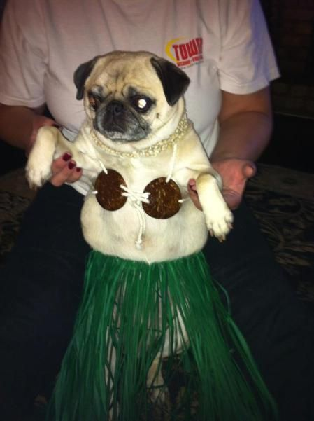 Pug Costumes 059 With Images Pugs