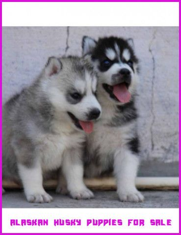 Puppies Near Me For Sale - Anna Blog