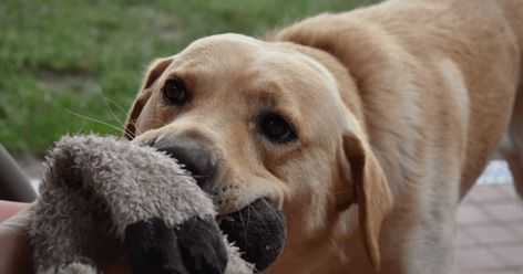 Why Do Dogs Destroy Their Toys The Surprising Reason Behind It