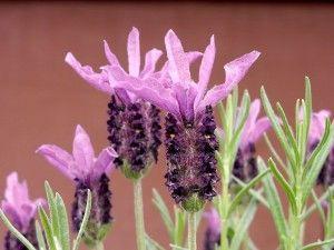 Lavendelöl hilft bei Hautpilz | bei geschwächtem Immunsysthem, tötet unterschiedliche Arten von Hefe- und Fadenpilzen ab. Auch Nagelpilz.