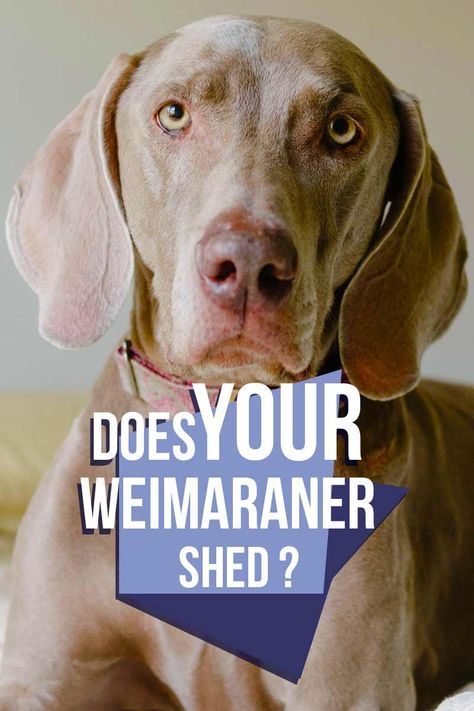 Do Weimaraners Shed From Short Haired To Long Haired Dogs