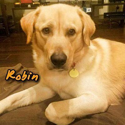 My Spoiled Rotten Golden Retriever Puppy Moose Puppies In Bandanas Make My Heart Melt