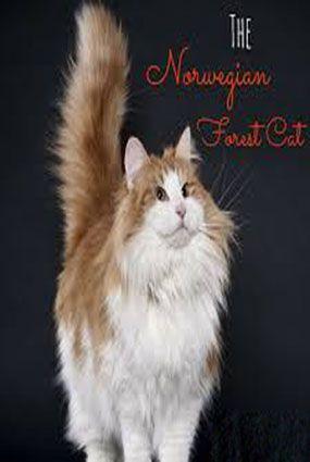 Norwegian Forest Cat Cat Guides Norwegian Forest Cat Cute Cat Names Grey Cat Names