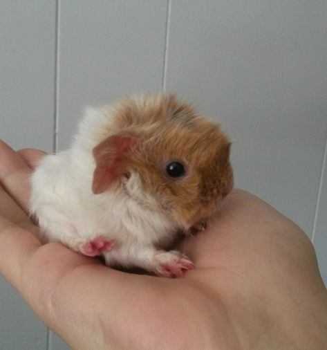 Baby guinea pigs are so tiny! Guinea Pig House, Baby Guinea Pigs, Guinea Pig Care, Baby Pigs, Guinea Pig Funny, Baby Bunnies, Baby Animals Super Cute, Cute Little Animals, Cute Funny Animals