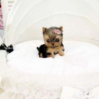 33 Teeny Tiny Puppies To Excite You Cute Puppies Cute Baby Animals Baby Animals Funny