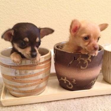Teacup Chihuahua Puppies Female Teacup Chihuahua Puppy For Sale