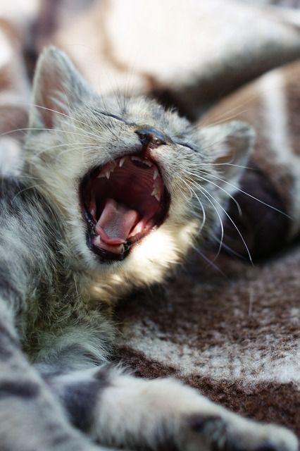 The Complete Guide To Kitten Teething In 2020 Feline Baby Teeth Cats