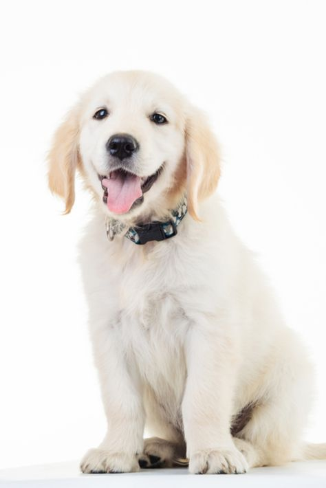 Happy Panting Golden Labrador Retriever Puppy Dog Sitting In