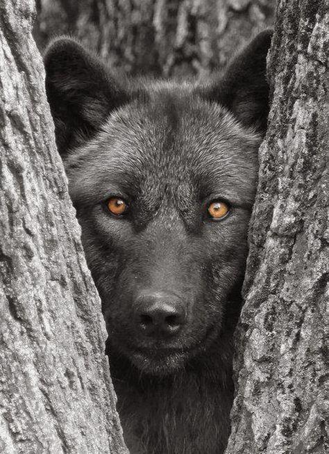 20 photos sombres et sublimes dans l'intimité du loup noir   Buzzly