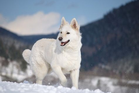 Pin By Elizabeth Larkin On Pupper White German Shepherd White Shepherd German Shepherd Breeds