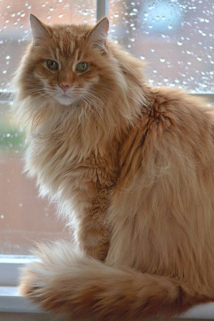 Cat Can You Stop The Rain From Falling Orange Tabby Cats Orange Cats Long Haired Cats