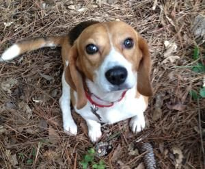 Wonderful Adoptable Although Kennesaw Trained Beagle Nature