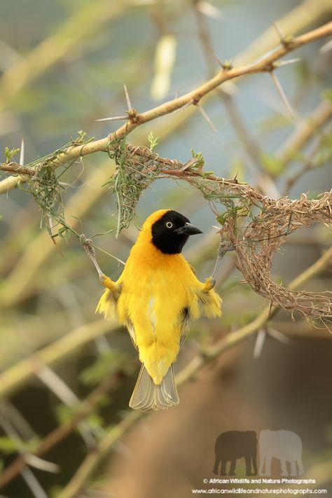 Lesser Masked Weaver Ploceus Intermedius Bonamanzi Game