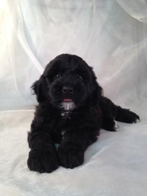 Miniature Goldendoodle Puppies For Sale Breeder In Iowa In 2020 Miniature Goldendoodle Puppies Goldendoodle Puppy For Sale Goldendoodle Puppy
