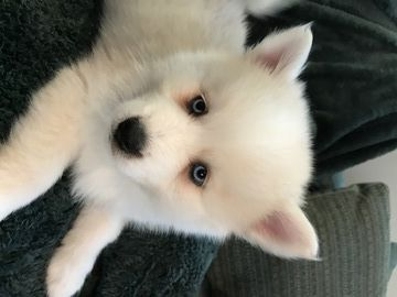 Litter Of 5 Pomsky Puppies For Sale In Madison Wi Adn 61829 On