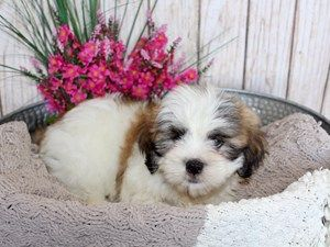 Lhasa Apso Dog Female Brown White 2402472 Puppies For Sale Puppies Lhasa Apso