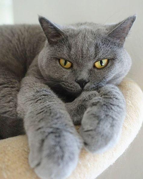 82 Melhor Ideia De Gato Britânico Shorthair Raças De Gatos Gatos Gatinhos