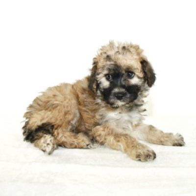Small Dog Breeds For Sale Find Your Perfect Small Dog Breed Puppy Here Today Small Dog Breeds Puppies Puppies For Sale