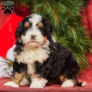Mini Bernedoodle Puppies For Sale Bernedoodle Puppy Mini Bernedoodle Greenfield Puppies