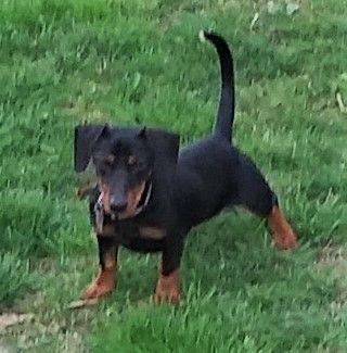 Adopt Diesel In Mi On Dachshund Rescue Dachshund Dogs