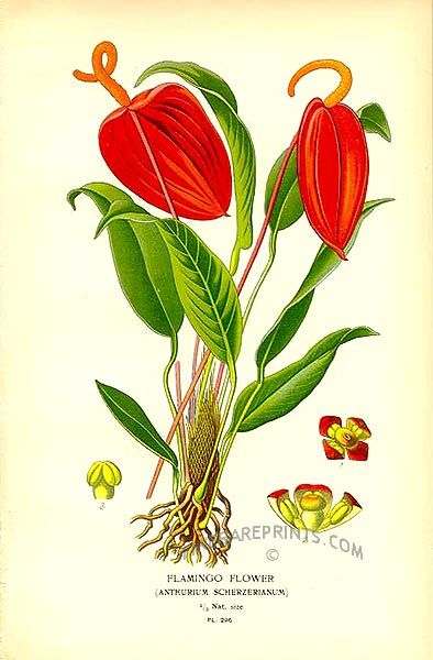Flamingo Flower Anthurium Scherzerianum Botanical Prints Botanical Flowers Botanical Drawings