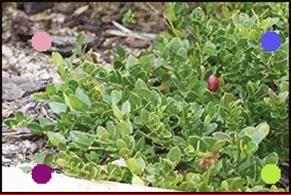 Carissa Macrocarpa Green Carpet Plant Benefits Plants Desert Plants