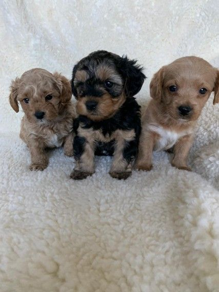 Yorkiepoo Puppies For Sale Eastbourne East Sussex Pets4homes Yorkie Poo Puppies Pet Breeds