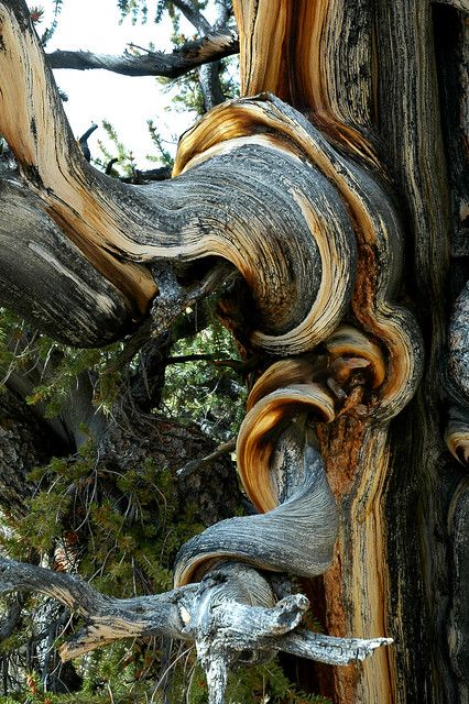 The Ancients: Great Basin Bristlecone Pine - Tom Clark Weird Trees, Bristlecone Pine, Dame Nature, Twisted Tree, Unique Trees, Old Trees, Tree Trunks, Nature Tree, Tree Forest