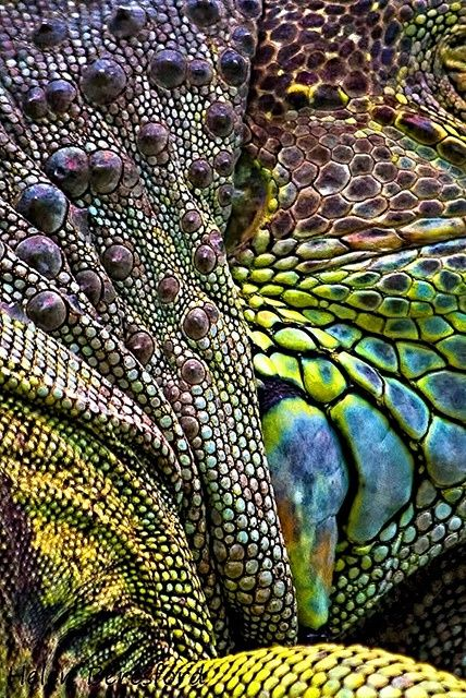 El color verde de su piel les permite confundirse perfectamente con la vegetación que hay en su entorno. Su piel está recubierta de pequeñas escamas; tienen una cresta dorsal que recorre desde su cabeza hasta su cola, esta es muy vistosa en los machos.