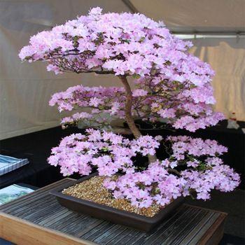 Bonsai Japanese Sakura Bonsai Flower Cherry Blossoms Cherry Tree Ornamental Plant 10seeds Pack Home Garden Bonsai Www Qualityonlinestores Com Bonsai Plants Bonsai Garden Bonsai Flower