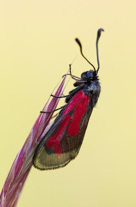 Thymian Widderchen Transparent Burnet Zygaena Purpuralis Minos Dieser Nach Krafttier Schmetterling Nachtfalter