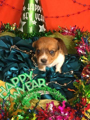 Litter Of 4 Cowboy Corgi Puppies For Sale In Bemidji Mn Adn 58798 On Puppyfinder Com Gender Male Age 2 Weeks Old Cowboy Corgi Puppies For Sale Corgi Puppies For Sale