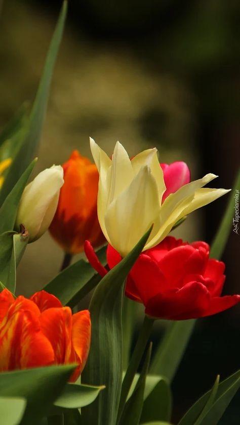 Fiori 80 Prato.Pin Di Evangelina Leta Su Tulipani Bellissimi Tulipani